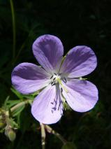 Fleur violette gros plan